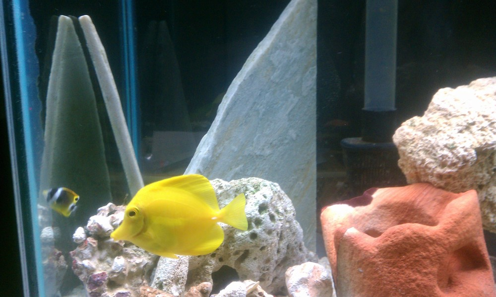 Yellow Tang and Raccoon Butterflyfish