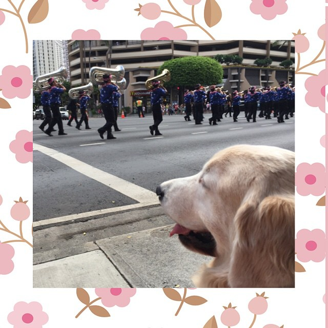 Tucker Hirsh, Kapiolani Medical Center's therapy dog, enjoys the Aloha Festival Floral Parade.