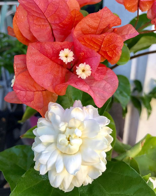 Happy Aloha Friday to everyone! 🌺 Triple #pikake and #bougainvillea blooms