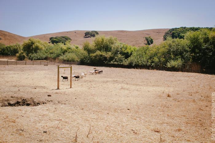 Chileno_Valley_Ranch_Petaluma_Wedding_Farm_Wedding-04.JPG