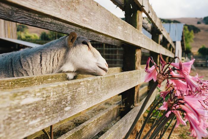 Chileno_Valley_Ranch_Petaluma_Wedding_Farm_Wedding-39.JPG