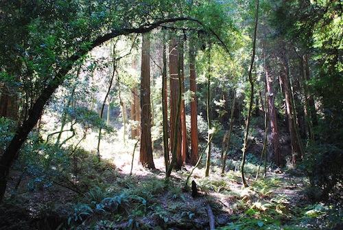 Redwood-Grove-at-Land-of-Medicine-Buddha-copy.jpg