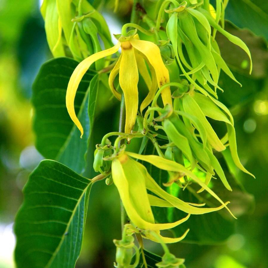 Prepare yourself for real Goddess Life Improvement - you could have a regular day, or you could have a regular day smelling like YLANG YLANG!