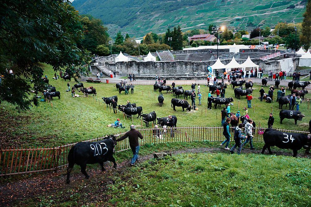 Mumbay & Zibira, reines des combats de la Foire du Valais, Martigny.