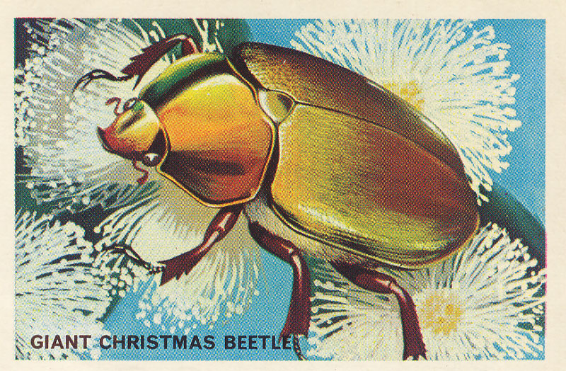 "The Giant (or ""King"") Christmas Beetle,  Anoplognathus viridiaeneus . Common in bushland around Sydney and the north coast of New South Wales. Fancies eucalypts. ""Where one is found you can be certain there will be others on the same tree"". Not ominous at all! Image from same source as above."