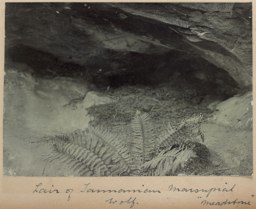 "Lair of Tasmanian marsupial wolf, ""Meadstone"", Tasmania [gelatin silver photograph]. Dudley Le Souef, ca 1900-1911. State Library of Victoria, H91.280/3/4. Available online."