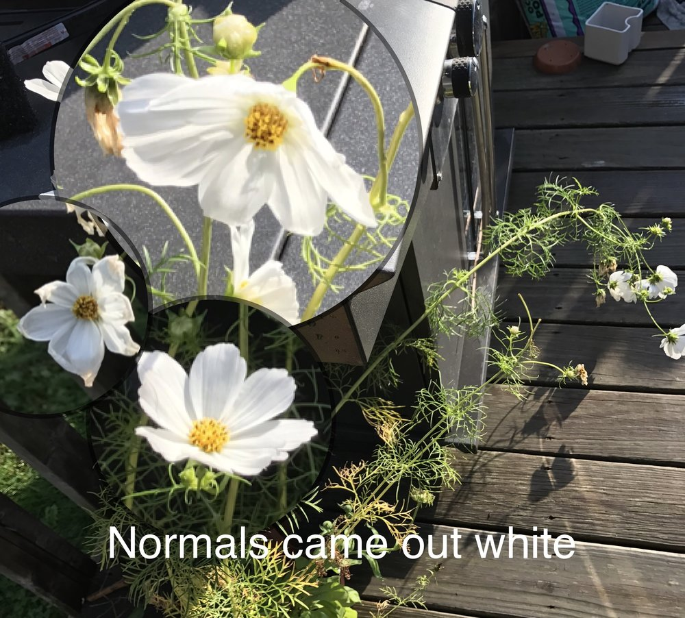 These came out a white, with no aura to her than the typical aura plants produce. Died October 1, 2017.