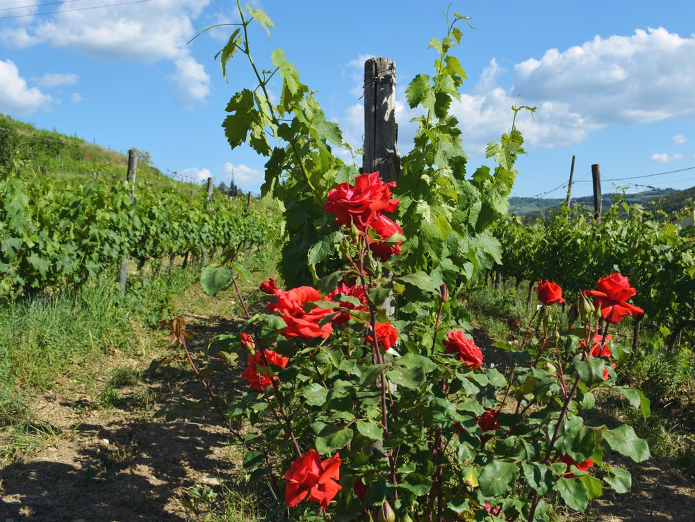 Roses-vine-rows_La-Dolce-Vigna.jpg