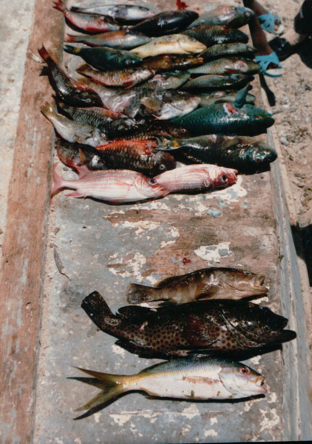 Fish catch, Buen Hombre, Dominican Republic  (Photography by Richard W. Stoffle)