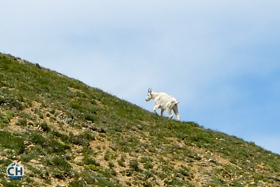goat on a hillside