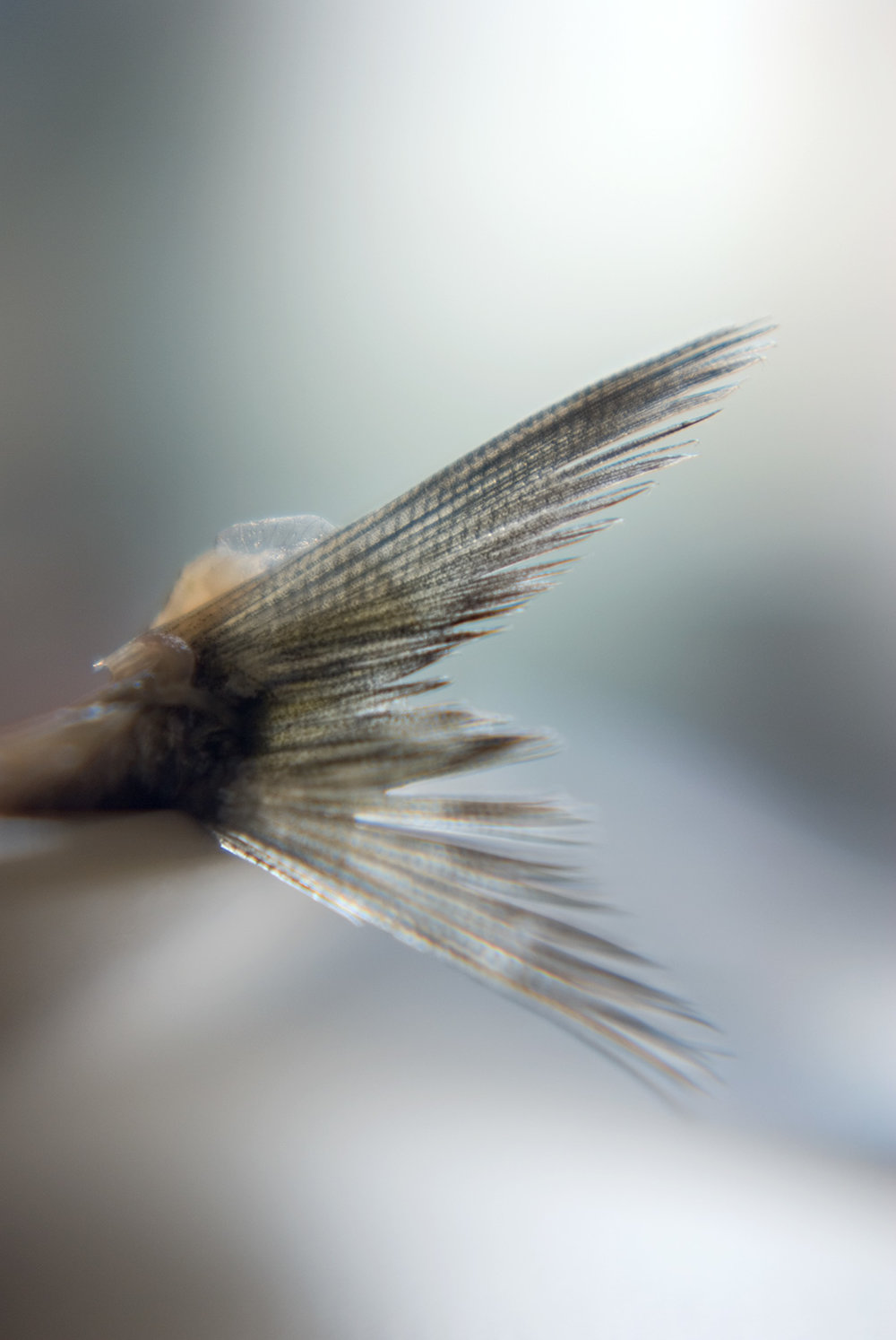 Sardine-Tail_9921.jpg