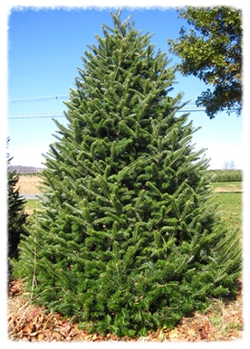 Christmas Tree Job Application