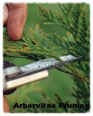 Arborvitae Pruning.jpg