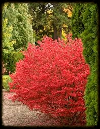 Compact Burning Bush