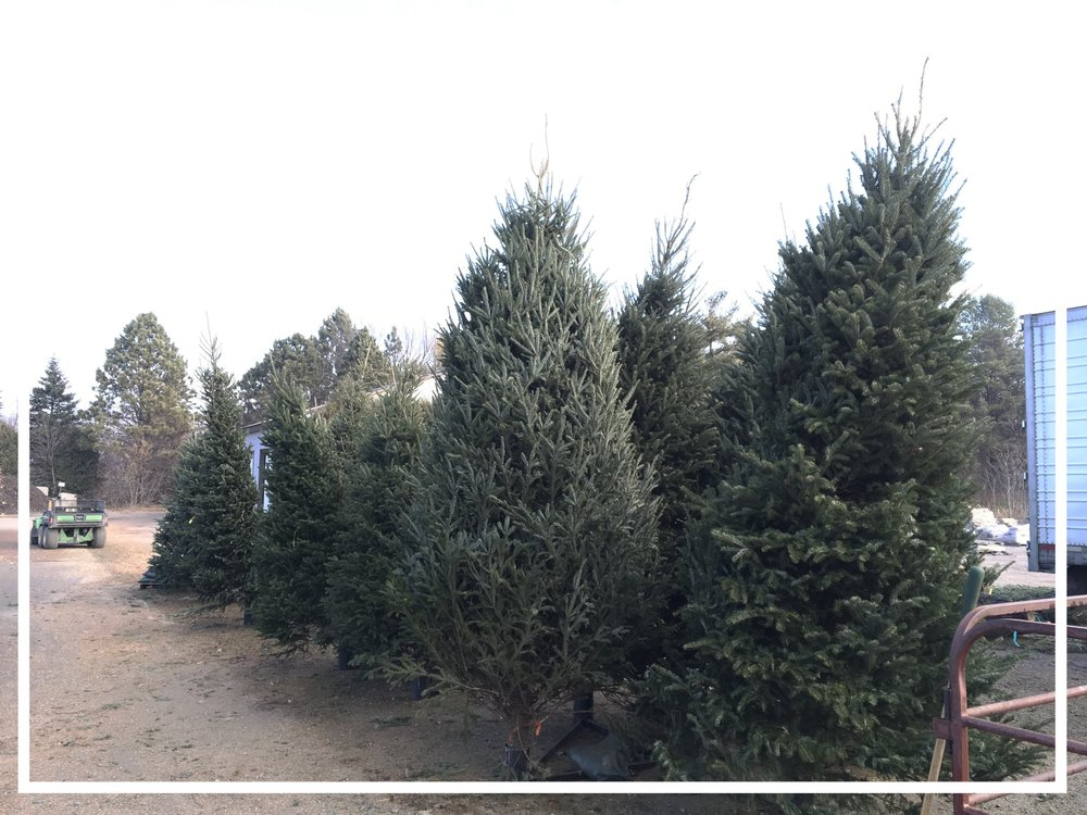 We Have A Large Selection Of Tall Trees!