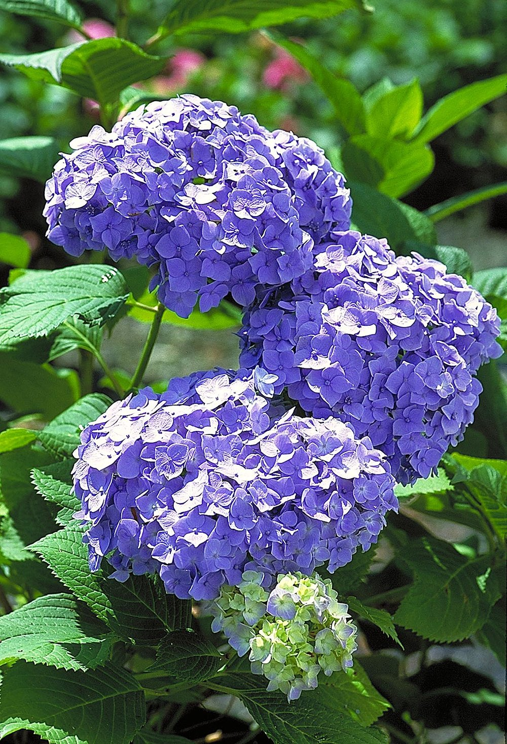 Hydrangea macrophylla 'Nikko Blue'2.jpg