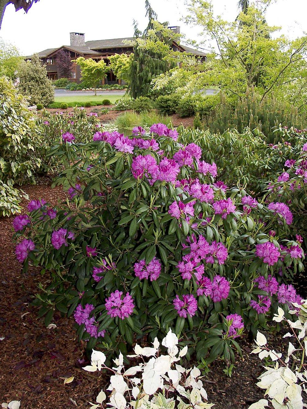 Rhododendron x 'Roseum Elegans'3.jpg