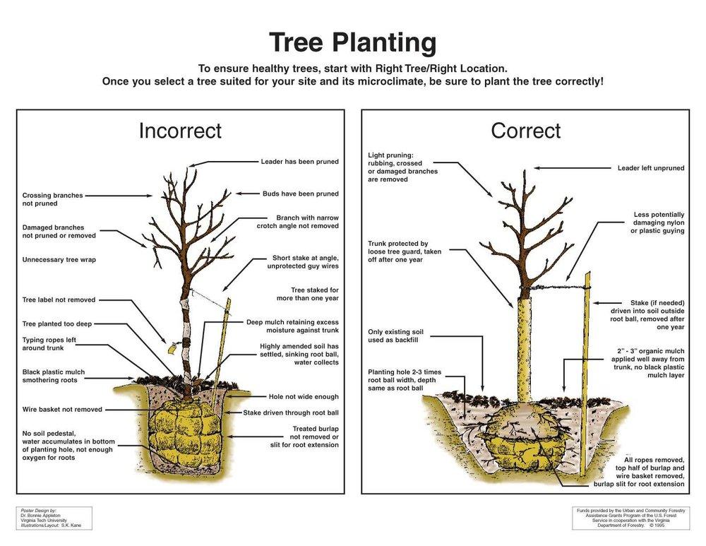 Correct-InCorrect-TreePlanting.jpg