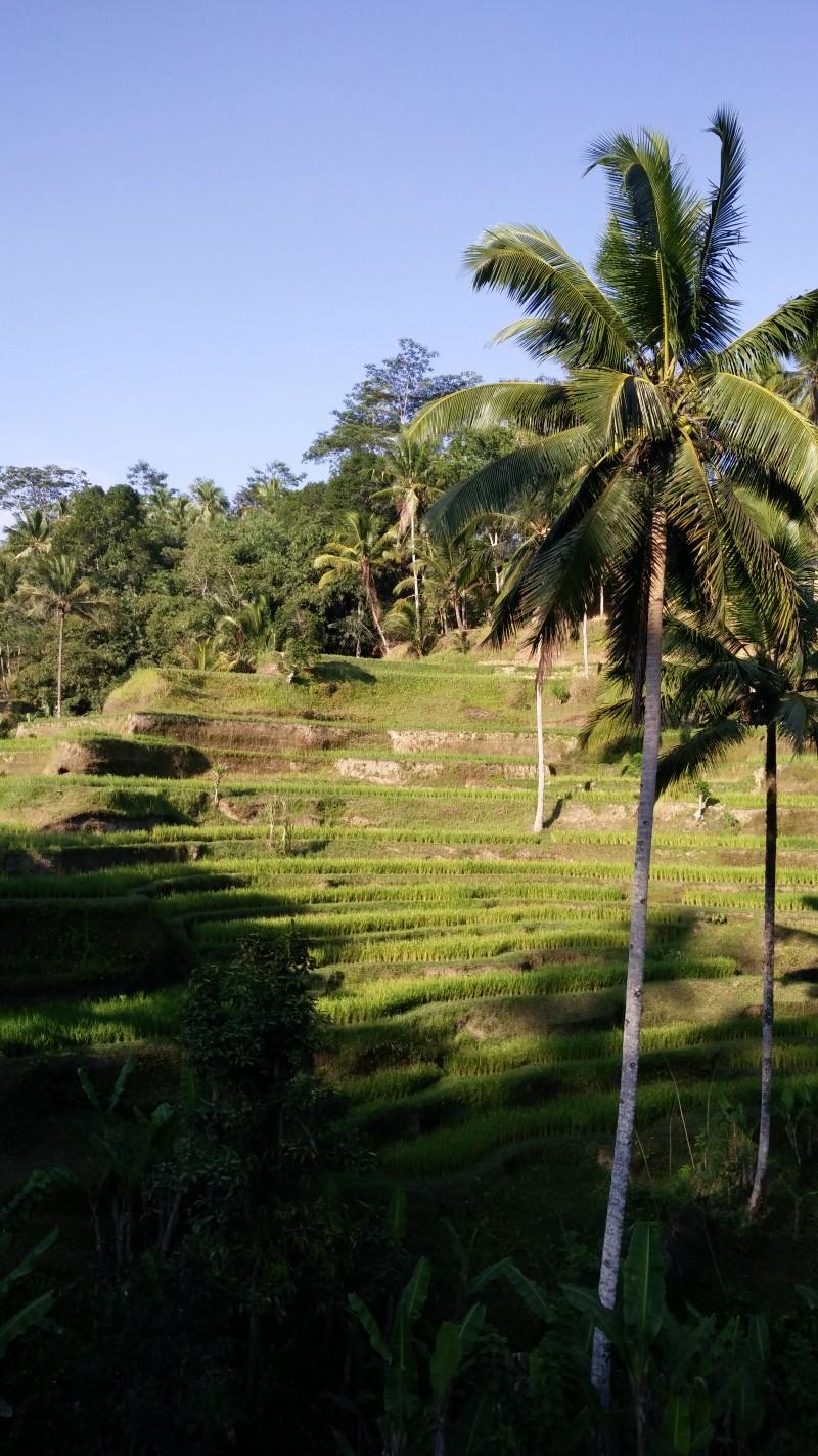 Tegallalang Rice Terrace,Ubud