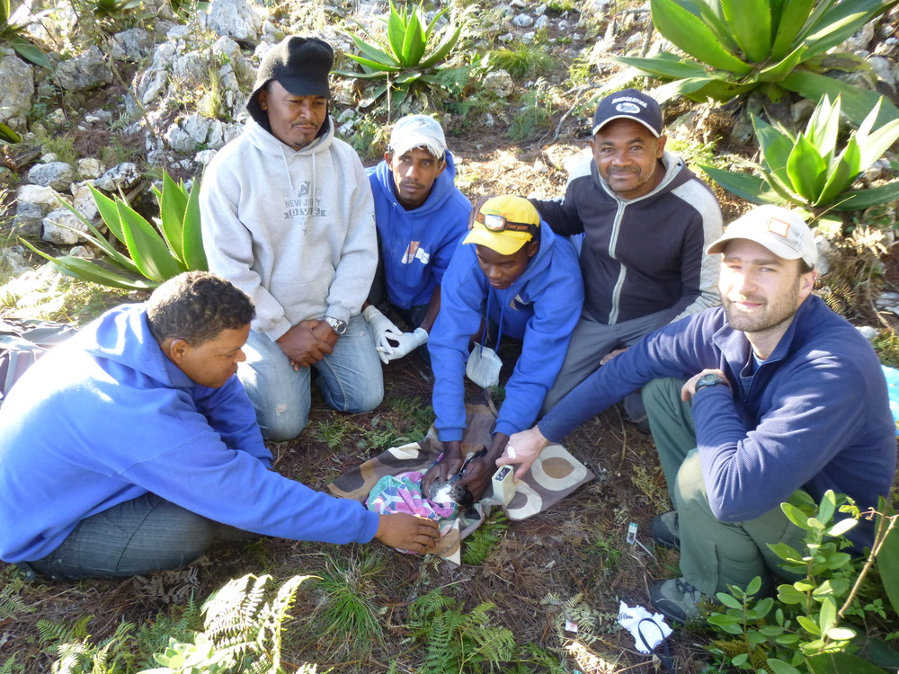 Rob Ronconi and Grupo Jaragua tagging a Black-capped Petrel, Dominican Republic