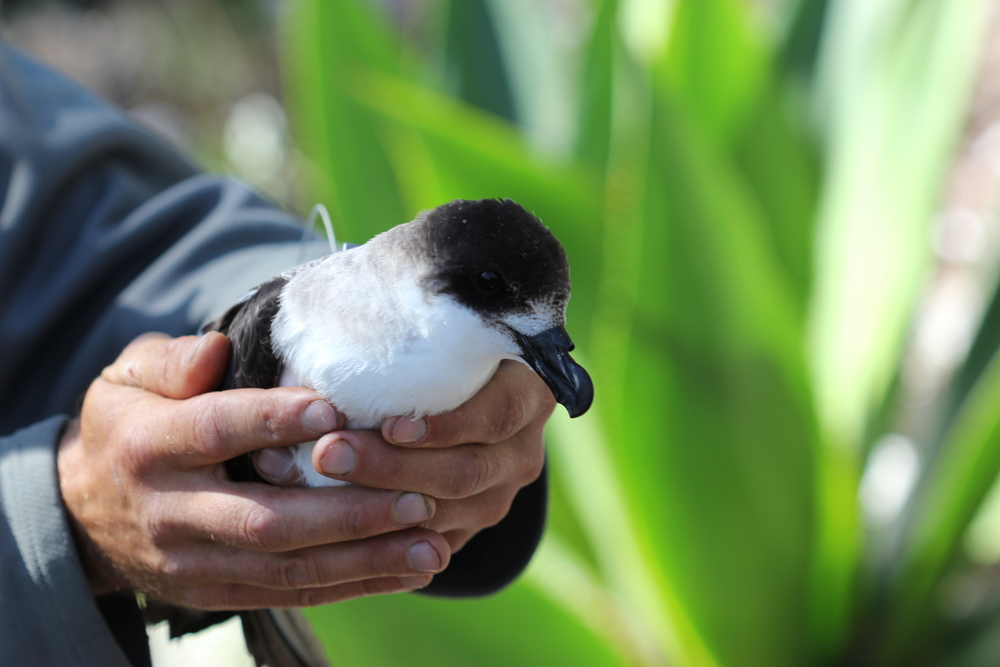 Black-capped Petrel with satellite tag