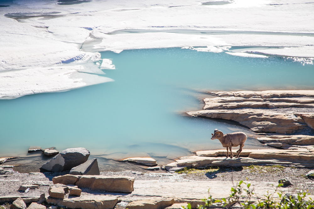 This beautiful bighorn sheep was hanging out by the glacier rim