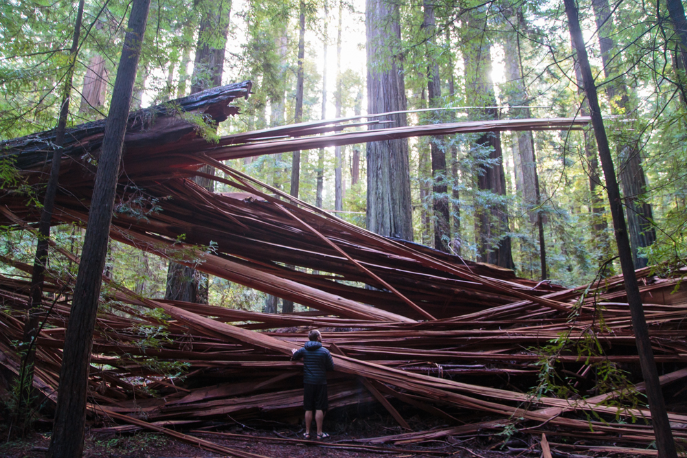 A massive fallen redwood and the split wood that resulted.