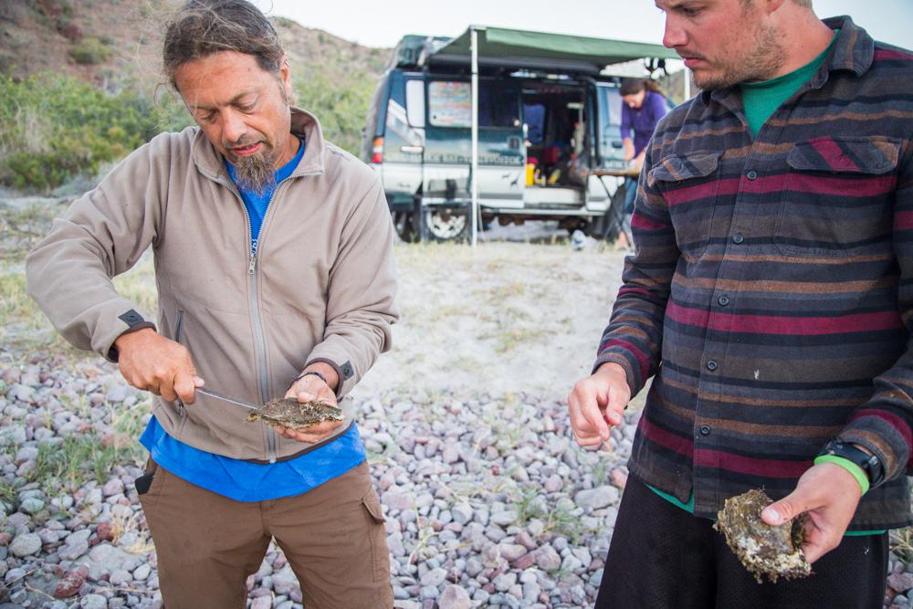 Opening shellfish.