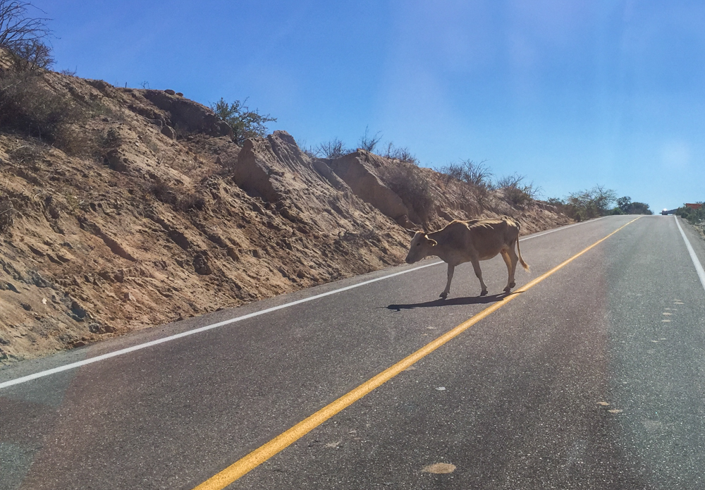 Commuter traffic! Even the main paved roads aren't without obstacles!