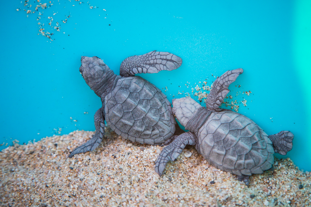 Being a baby sea turtle is super tough.