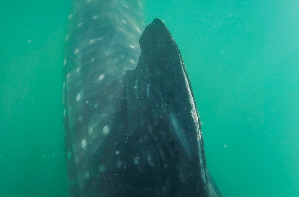 As you can see, I was inches from the whale shark. I this shot, you can see the scarred fin, likely caused from rubbing on the bottom of a boat.