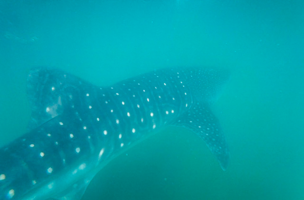 This time I swam beside the whale shark, not above.