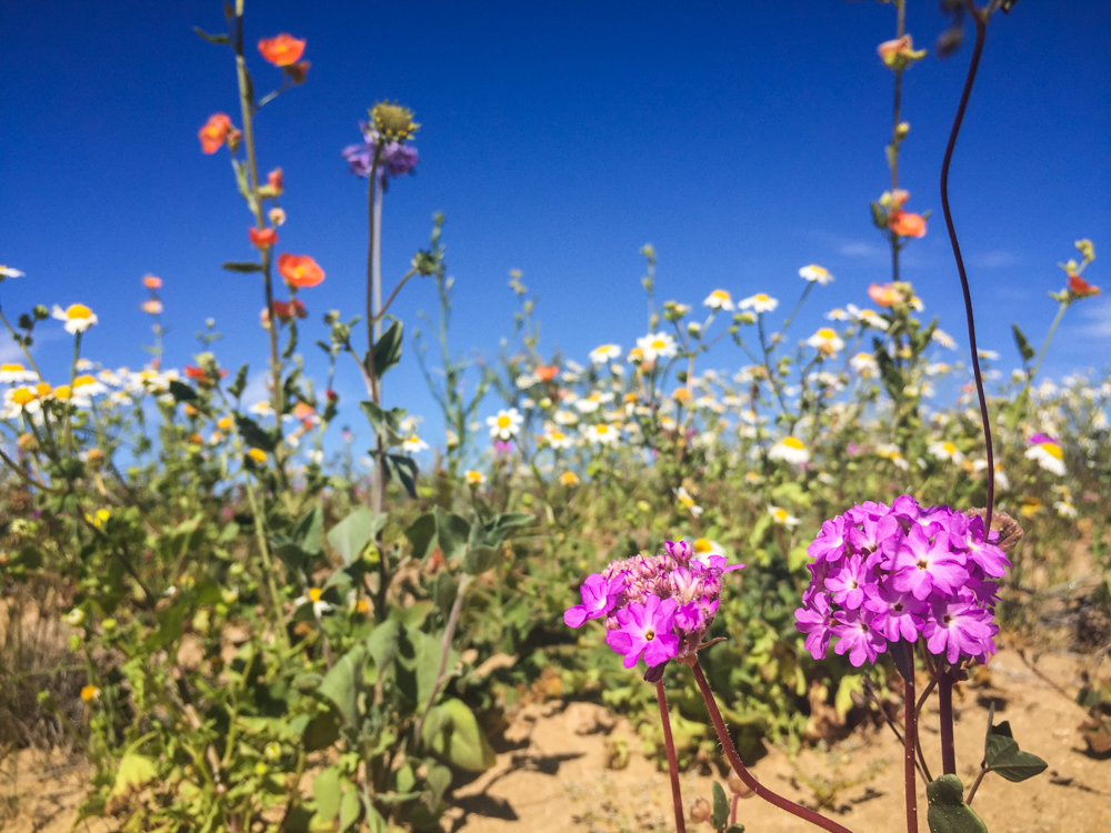 The wildflowers in bloom after a wet winter in the desert