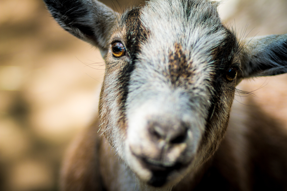 pygmy-goat-farm-animal-losangeles.photography-3.jpg