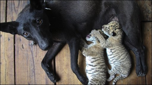 "thedailywhat :      Interspecies Intermingling of the Day:  A dog at the Xixiakou Wildlife Zoo in Weihai, China, nurses a pair of Liger cubs (the result of a male lion mating with a female tiger).    According to the BBC , ""The mother stopped feeding the cubs after a few days so the dog, which had recently had its own puppies, was enlisted to help.""   [ bbc .]"
