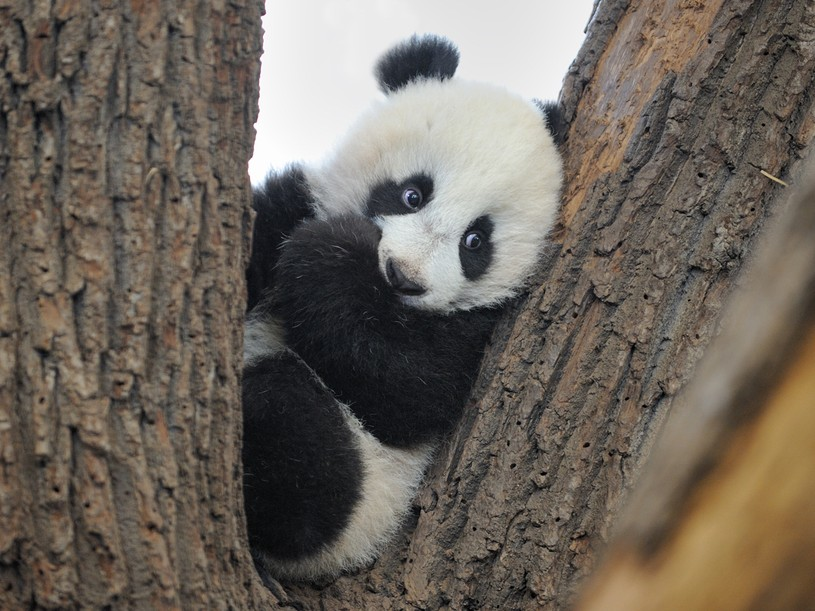 fuckyeahgiantpanda :     Fu Hu at the Vienna Zoo on February 5, 2011.   ©  Andrea Haberfehlner .     This picture is so adorable. LOOK AT THOSE EYES! <3
