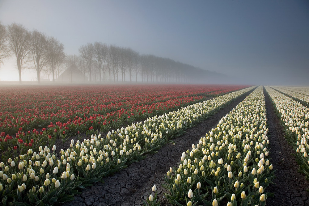 allthingseurope :     A tulip field near Amsterdam, The Netherlands   by  lonelywolf