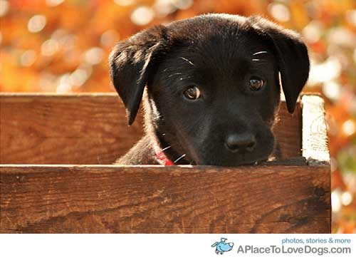 aplacetolovedogs :        ElizabethSigns      Black Lab puppy     I want a puppy!!