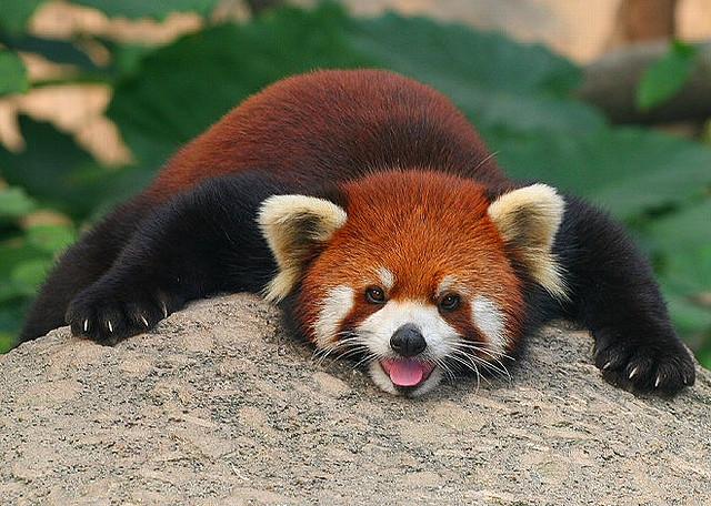 moronicbeauty: © Chi Liu I freaking love red pandas! <3