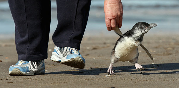 kari-shma: Annwyne Stanish walks 'Hop Along', the little blue penguin, along Rothesay Bay beach, near Auckland, New Zealand. The penguin was washed up on Muriwai Beach suffering from head and leg injuries and was nursed back to health by a bird rescue volunteer Sylvia Durrant and Annwyne Stanish