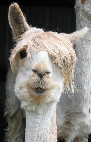 curiositykilledthekait: he's got bieber hair!!!! OMG emo llama!!!! Picture.of.the.day.