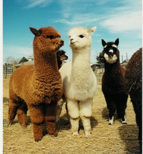 Llama love (via  mkat21 )