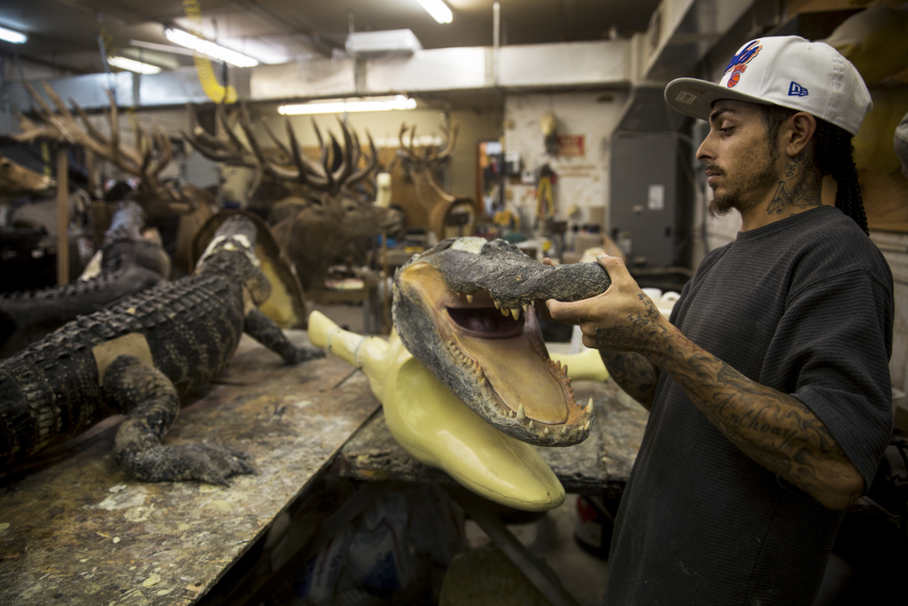 Thomas Dempsey, 27, of Naples, checks that an alligator head will fit to its molding at Skin and Scales Taxidermy on June 28, 2016 in Naples, Florida. Busy year-round with various specialty services for animal trophies, the full service taxidermy shop is currently working on over 250 different alligator trophies.