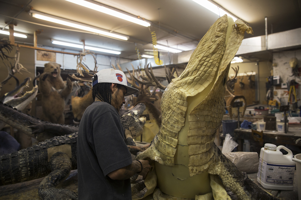 Thomas Dempsey, 27, of Naples, pins the skin to an alligator molding at Skin and Scales Taxidermy on June 28, 2016 in Naples, Florida.