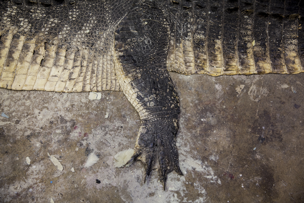 A work-in-progress alligator rug sits on the floor of the work space at Skin and Scales Taxidermy on June 28, 2016 in Naples, Florida.