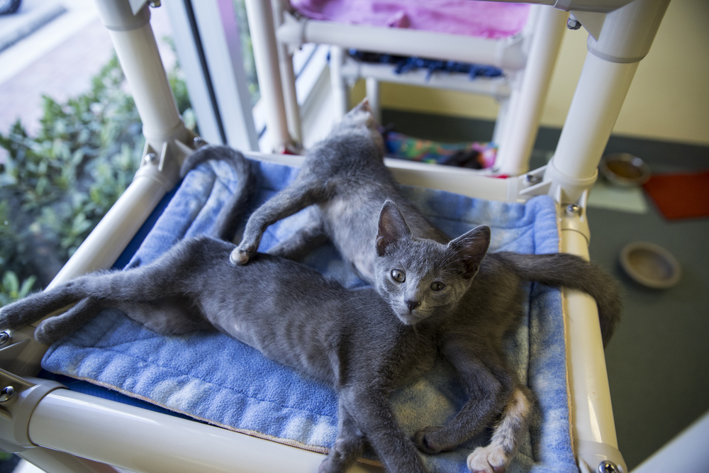 """Kittens nap on towers at Humane Society Naples on June 23, 2016 in Naples, Florida. It's """"kitten season,"""" an affectionate term for when feral cats are brought to the shelter either pregnant or with a litter of kittens. The human society rescues about 600 kittens during kitten season each year, and accepts on average at least 25 cats a week."""