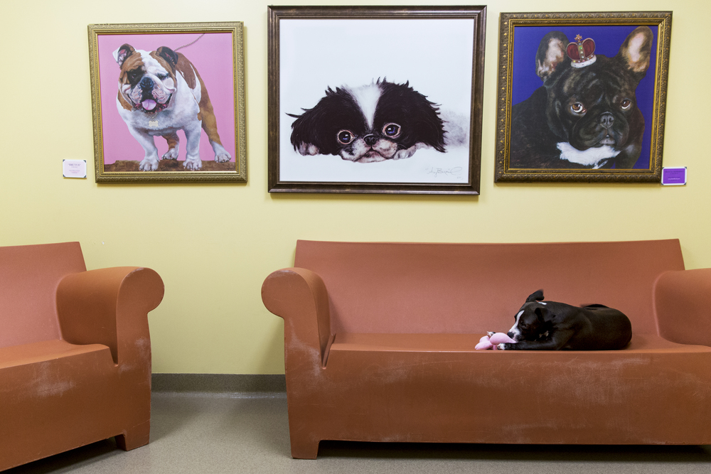 A young puppy named Fred plays with a chew toy in one of the meeting rooms at Humane Society Naples on June 23, 2016 in Naples, Florida.
