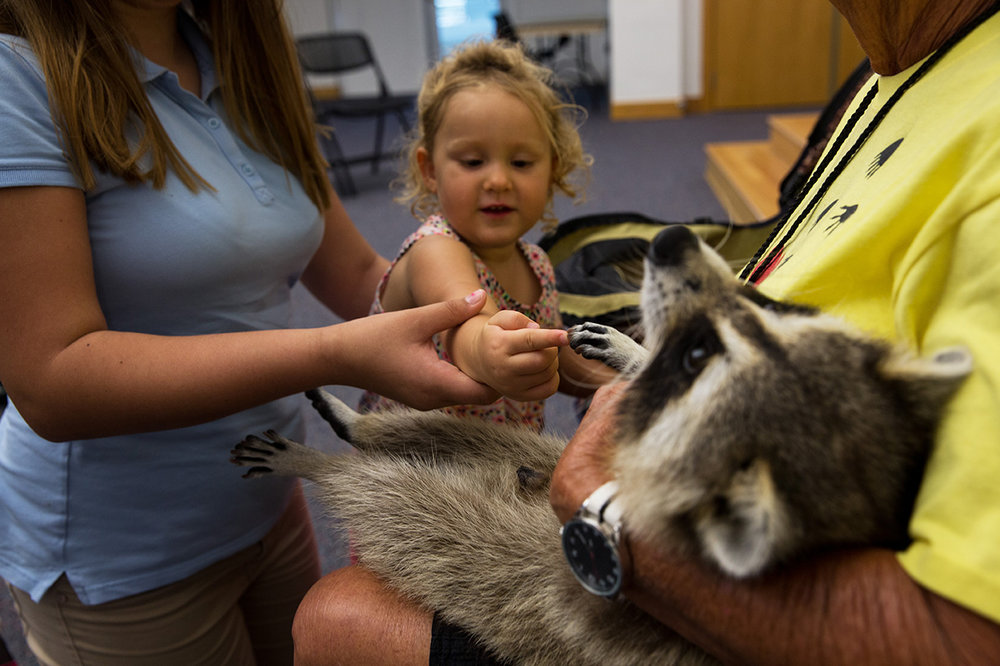 Marissa (last name withheld), 2, touches Trouper the Blind Raccoon with the help of her babysitter during a presentation at the Marco Island Library on Thursday, Sept. 22, 2016 in Marco Island, Florida. Miss Dot, a licensed wildlife rehabilitator, and Trouper visit children and adults all over Florida in schools, groups and organizations to teach about respect and love for all living things.