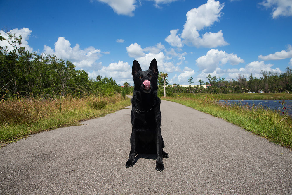 Boss, a retired CCSO K-9, licks his lips while sitting for a portrait at a park in Naples, Florida on Monday, Oct. 17, 2016. Boss retired earlier this month after working in the sheriff's office for six years. He has been battling an aggressive cancer and is currently in remission, enjoying the rest of his time with his handler and family.