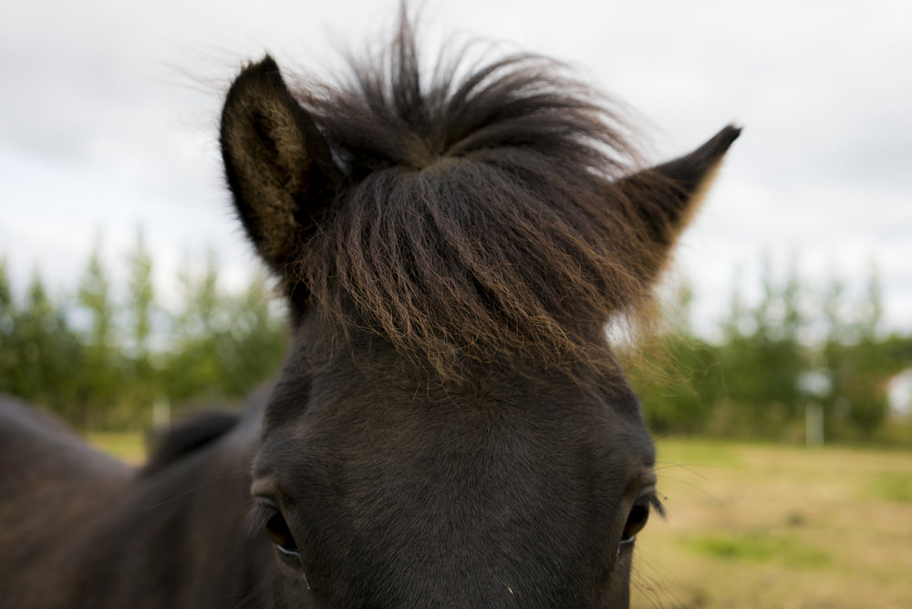 An Icelandic horse roams the countryside of Iceland. 2017. Considered the world's purest breed, Icelandic Horses were brought by Viking ships to serve as the sole source of transportation over Iceland's rough terrain.